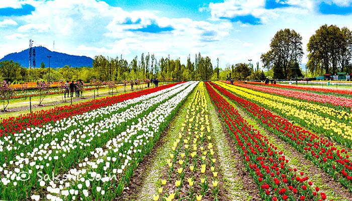 tulip-garden-srinagar-india