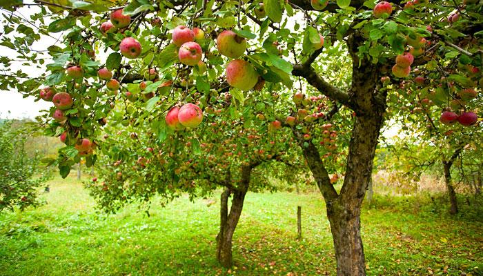apple-orchards-khajjiar