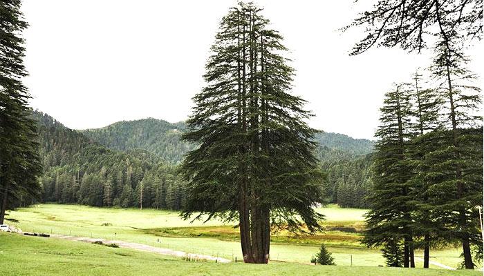 panch-pandavtree-khajjiar-dalhouse-himachal-pradesh