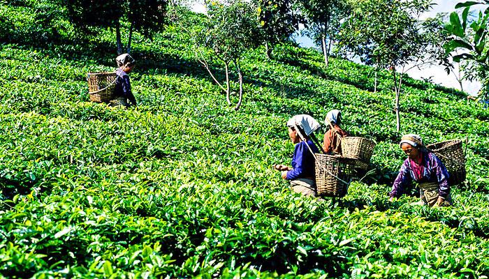 valley-tea-estate-darjeeling