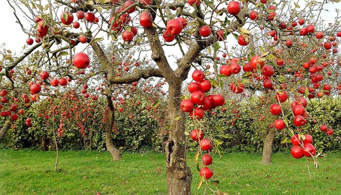 fruit-orchards-chamba