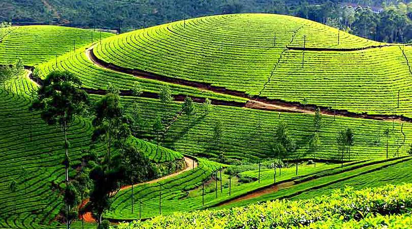 munnar-tea-plantation
