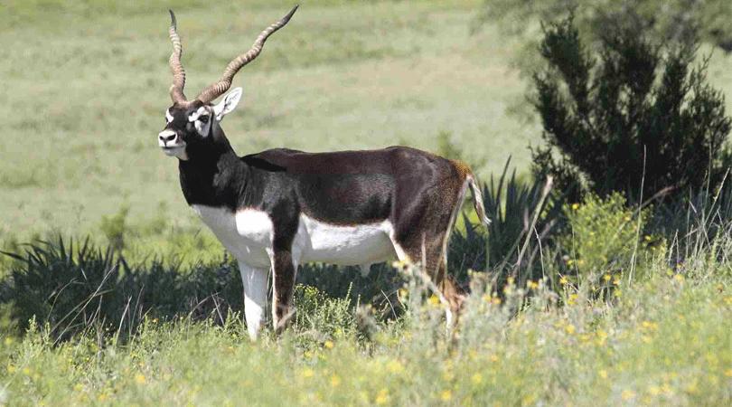 panchala-black-buck-safari-reserve-nagaur