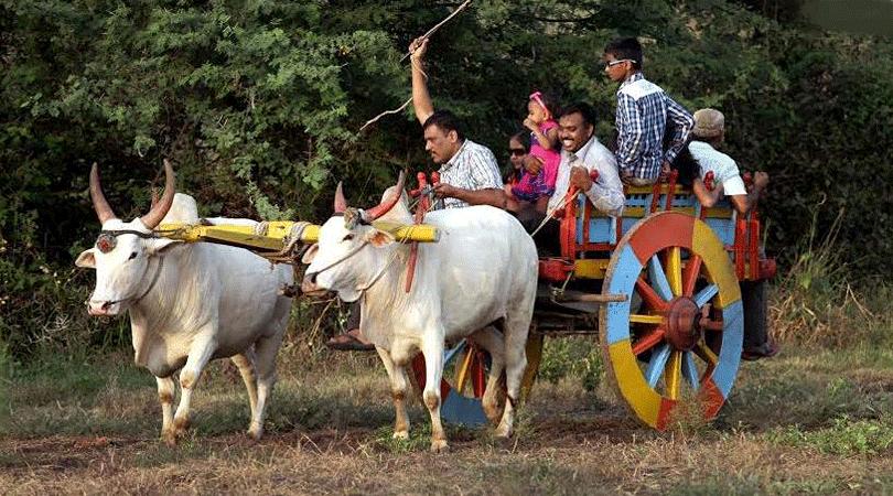 bullock-cart-riding-jadhavgadh-hotel-pune