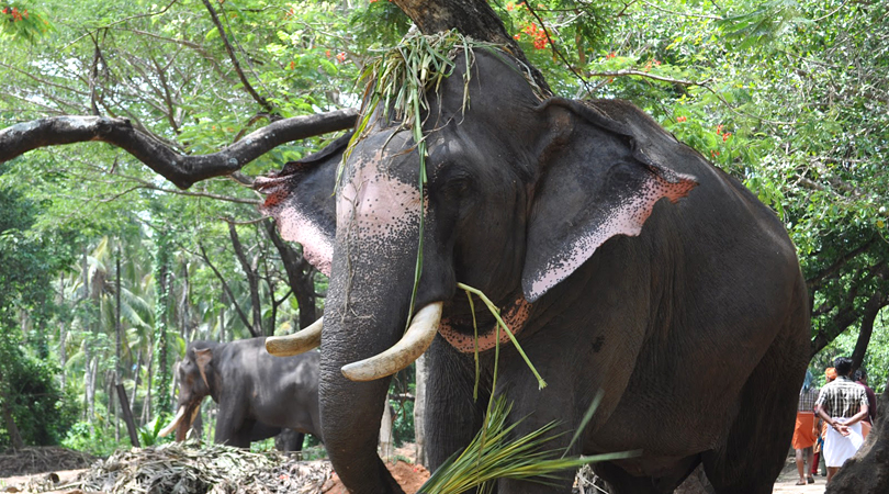 punnathurkotta-elephant-sanctuary-india