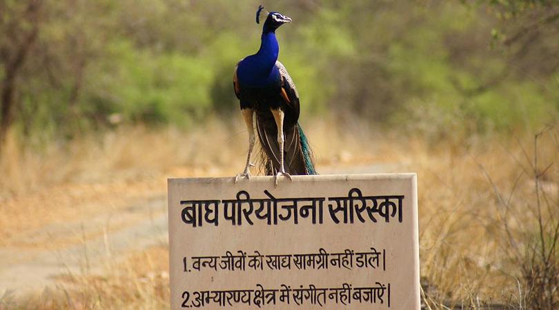 sariska-national-tiger-reserve-india