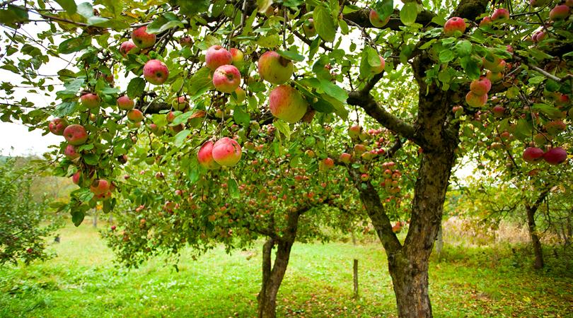 apple-orchards-srinagar