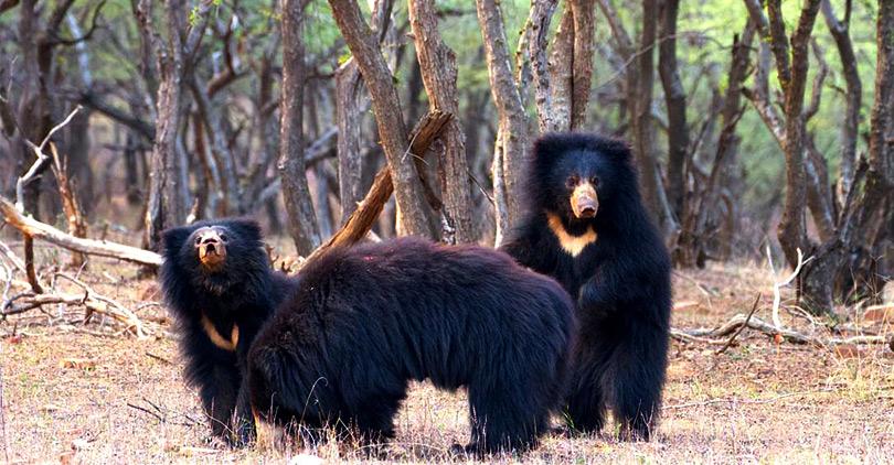 bear-getting-there-hotel-ranthambhore-regency