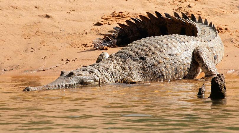 crocodile-safari-at-pali-ghat