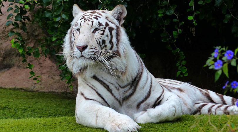 sunderban-bengal-tiger