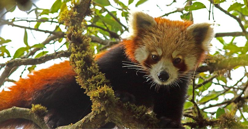 red-panda-india