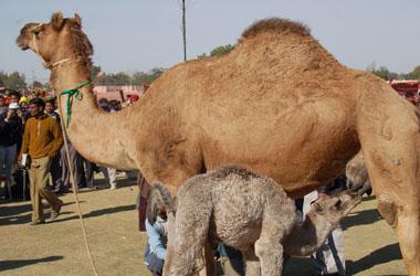 bikaner-camel-fair-1