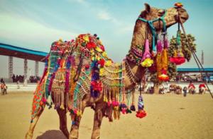 pushkar-camel-fair-2019-22