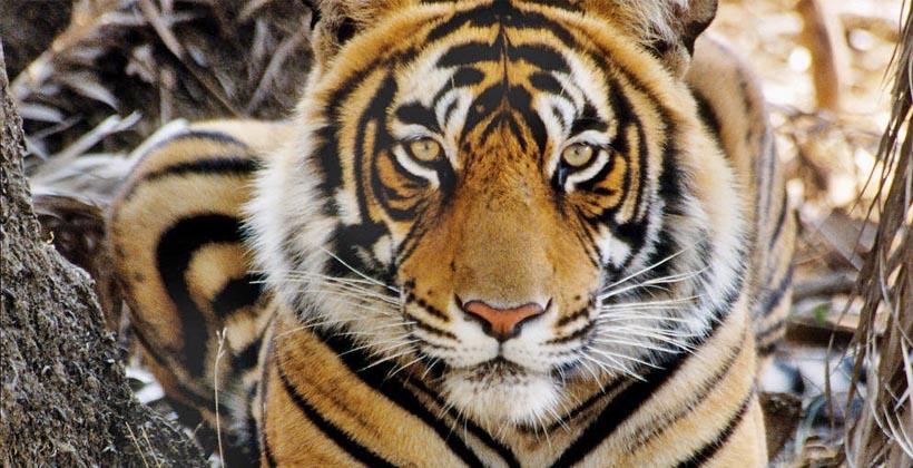 best-tiger-safari-tours-in-india