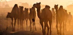 bikaner-camel-festival-in-india