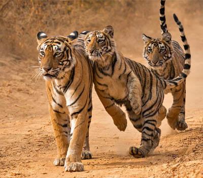 ranthambore-tiger-safari