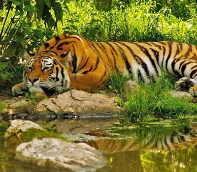 sunderban-tigers