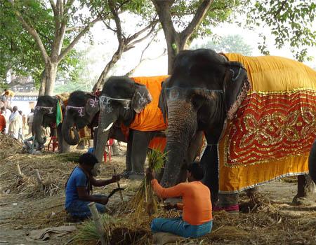 sonepur-mela-elephant