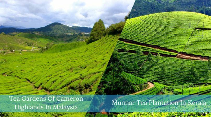 Munnar Tea Plantation In Kerala VS Tea Gardens Of Cameron Highlands In Malaysia